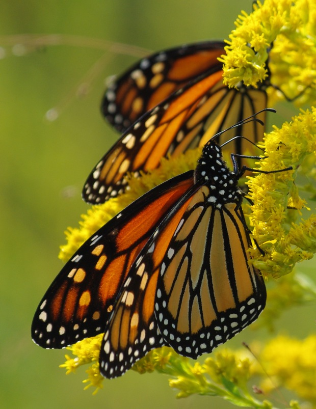 Monarchs (© John Gresham)